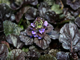 'Black Scallop' Bugleweed