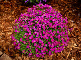 'Audrey Red Shades' Rockcress