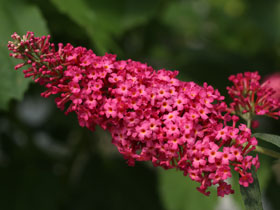 'Prince Charming Butterfly Bush