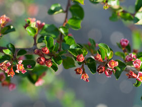 'Cranberry' Cotoneaster