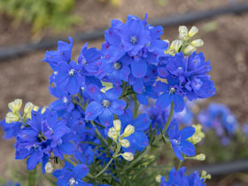 'Blue Mirror' Larkspur