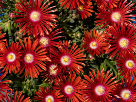 Red Mountain Flame<sup>®</sup> Hardy Ice Plant