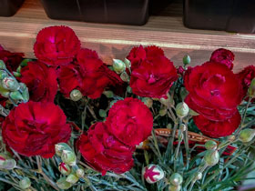 'Electric Red' Reblooming Dianthus