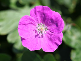 Spiked Punch<sup>TM</sup> Hardy Geranium