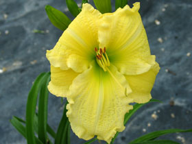 'Brocaded Gown' Trophytaker<sup>®</sup> Daylily