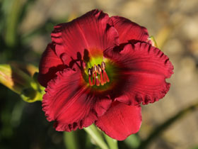 'B&eacute;same Mucho' Trophytaker<sup>&reg;</sup> Daylily