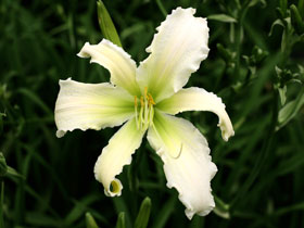 'Heavenly Angel Ice' Trophytaker<sup>®</sup> Daylily