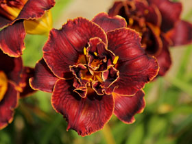 'Night Embers' Trophytaker<sup>&reg;</sup> Daylily