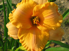 'Pure & Simple' Trophytaker<sup>®</sup> Daylily