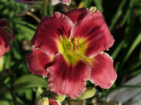'P.S. I Love You' Trophytaker<sup>&reg;</sup> Daylily