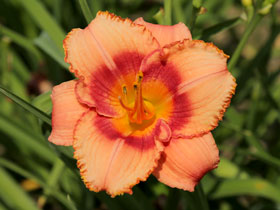 'Strawberry Candy' Trophytaker<sup>®</sup> Daylily